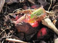 Rhubarb bud burst.