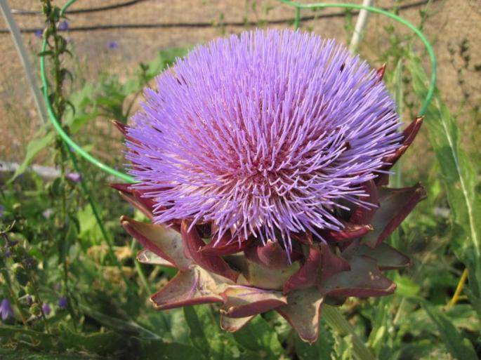 artichoke-flower