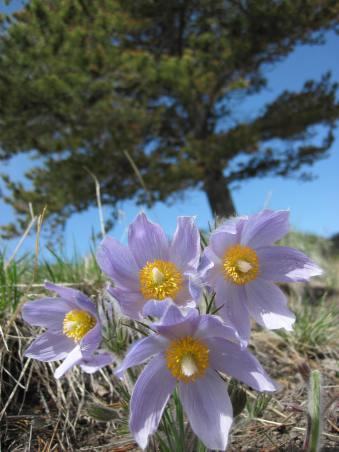 Pasqueflowers blooming on the pass